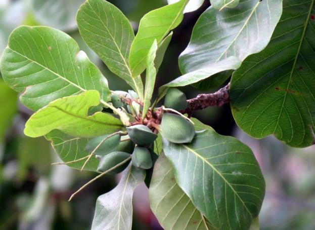 Harga Pohon Ketapang Murah