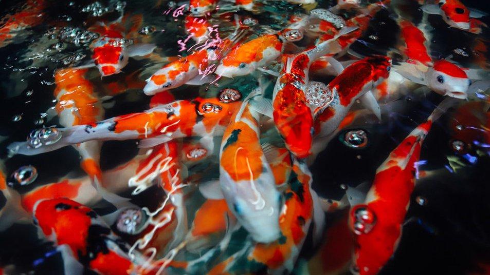Peluang Usaha Ternak Ikan Koi