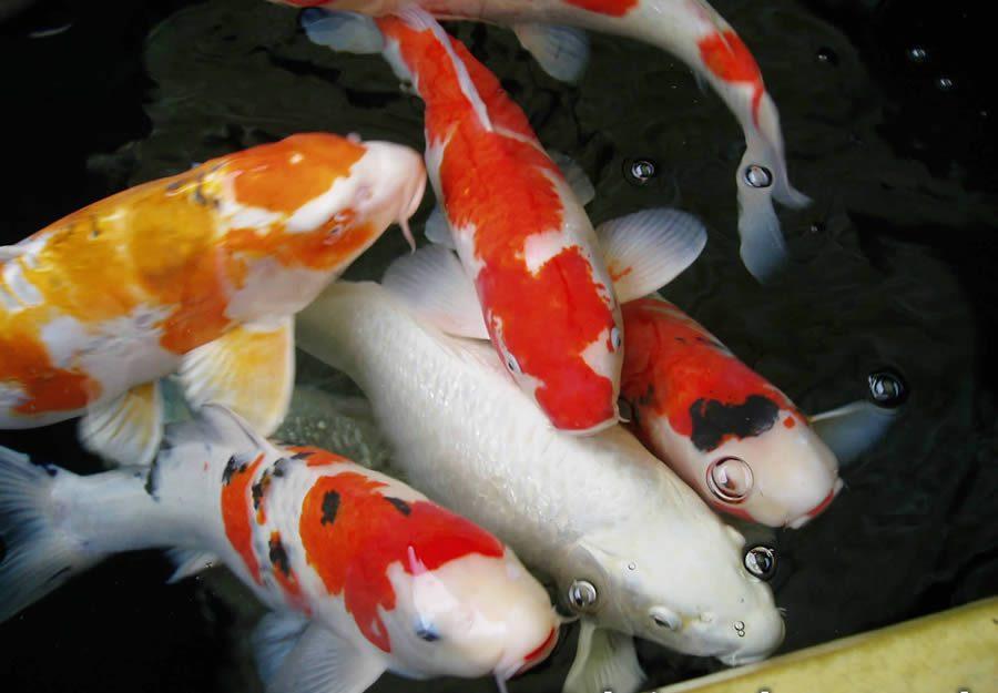 Sukses Dengan Cara Ternak Ikan Koi