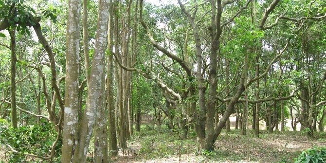 Sedia Bibit Pohon Gaharu Harga Grosir Murah
